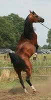 Brown Arabian Rearing III