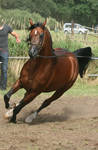 Brown Arabian Canter