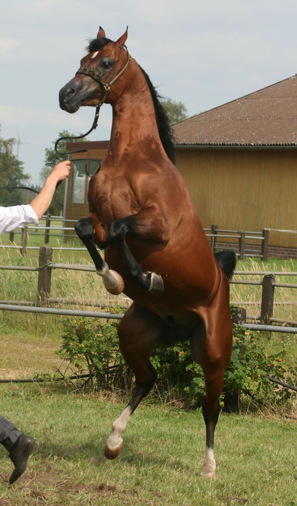 Brown Arabian Rearing IV