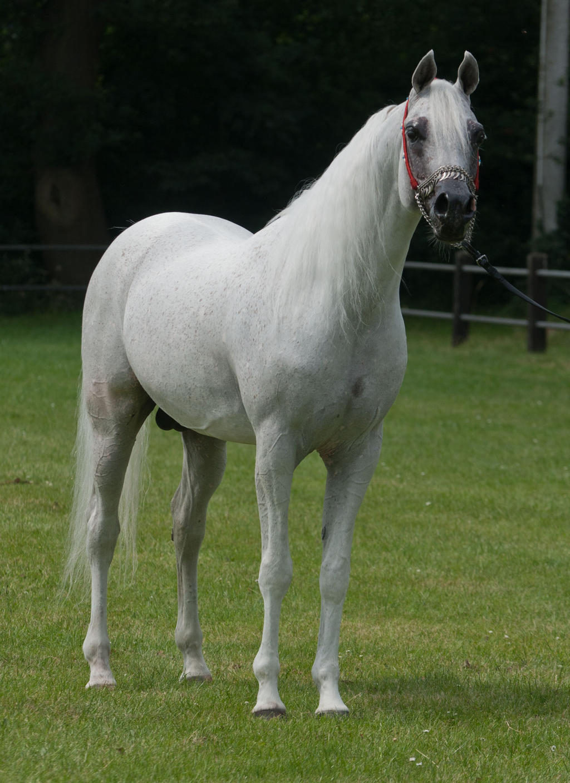 Curious grey Arabian