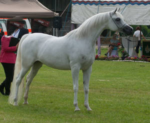 Grey Arabian Posing