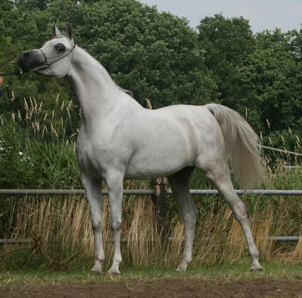 Grey Arabian Posing II