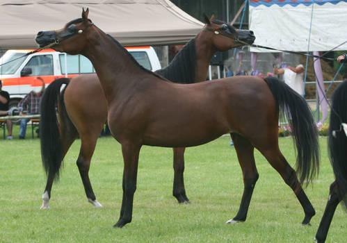 Bay Arabians Posing