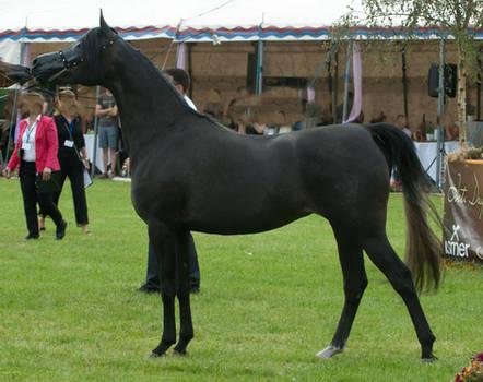 Black Arabian Posing