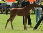 Arabian Foal Standing