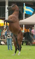 Brown Arabian Rearing V
