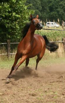 Brown Arabian Canter III