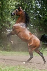 Brown Arabian Rearing VI