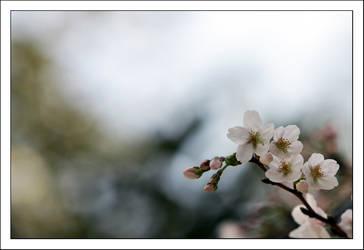 Sakura 2008 - 1 by kucingitem