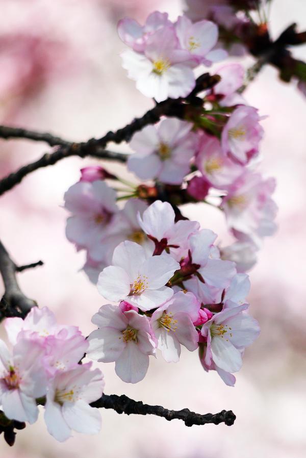 Sakura Flowers by kucingitem