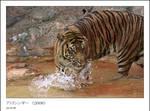 Sumatra Tiger 3 by kucingitem
