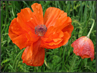 Poppy by Michies-Photographyy