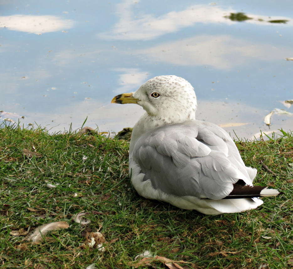 Resting Seagull by Michies-Photographyy