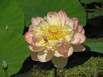 Fluffy Lotus by Michies-Photographyy