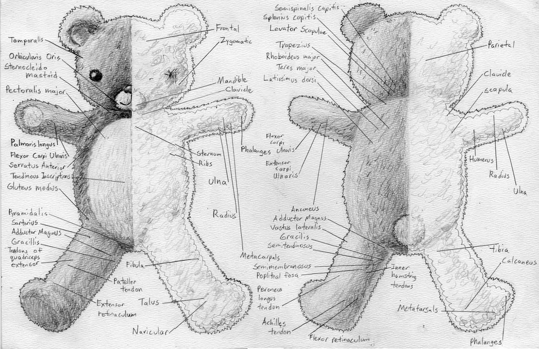 mapped_out_teddy_bear_anatomy_by_silvertide mapped out teddy bear anatomy by silvertide on deviantart