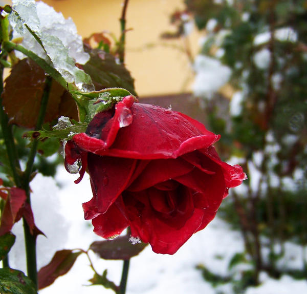 winter rose by Nusio21