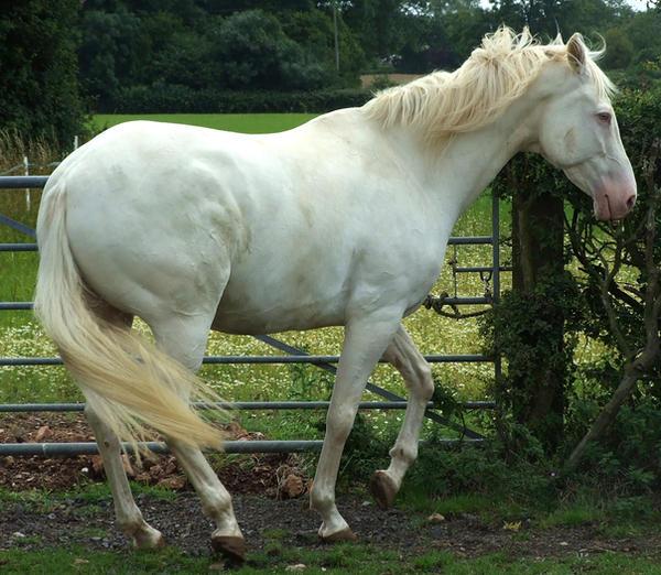 Erosaf's Foaling Thread Cremello_1_by_DappledLightStock
