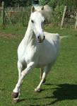 Grey Pony 1