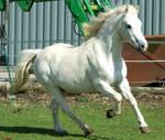 Grey Pony 5