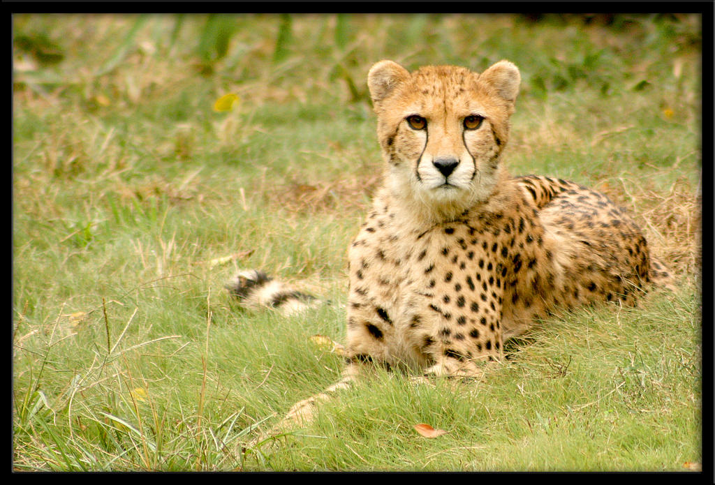 cheetah11 by redbeard31