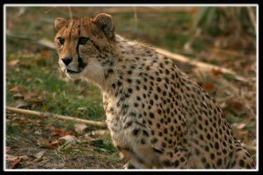 cheetah41 by redbeard31