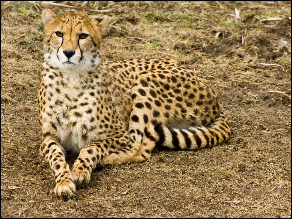 cheetah79 by redbeard31