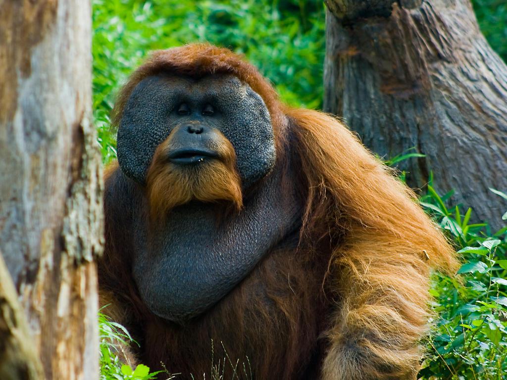 orang4 by redbeard31