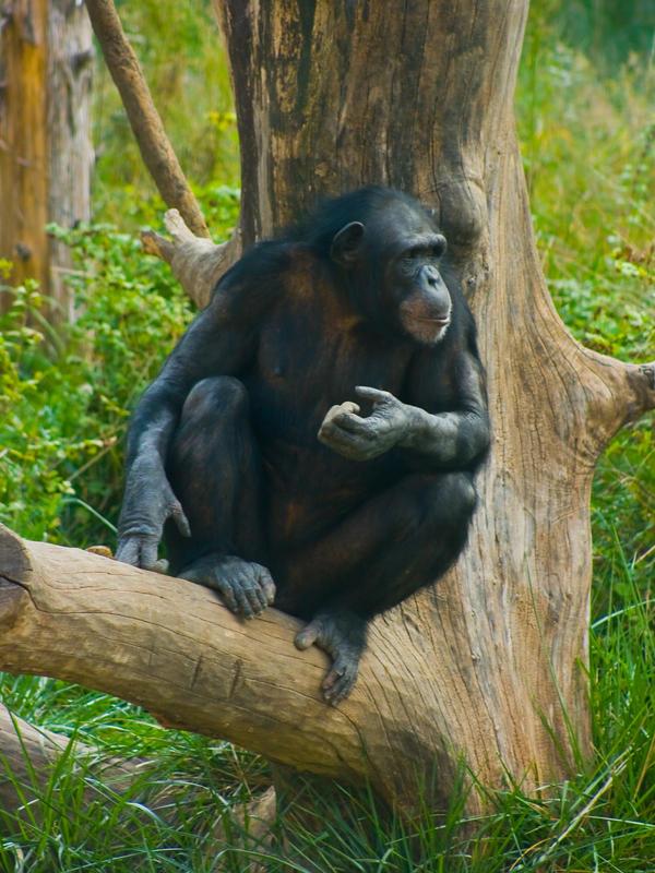 chimp31 by redbeard31