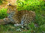 leopard49 by redbeard31