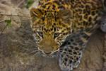 leopard63 by redbeard31