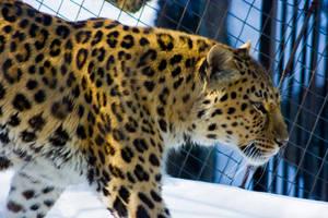 leopard107 by redbeard31