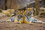 tiger212 by redbeard31