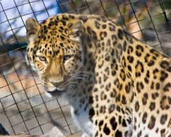 leopard131 by redbeard31