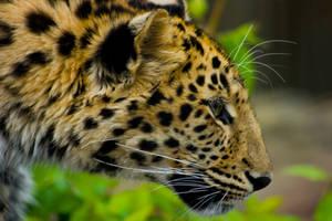 leopard138 by redbeard31