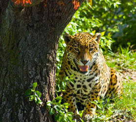 jaguar69 by redbeard31