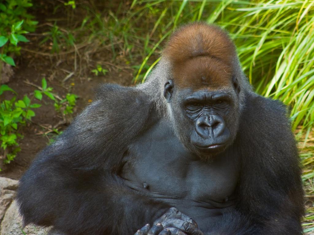 gorilla3 by redbeard31