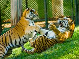 tiger313