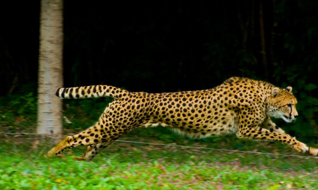 cheetah351 by redbeard31