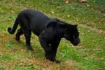 black jaguar13