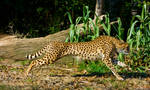 cheetah369