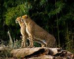 cheetah396