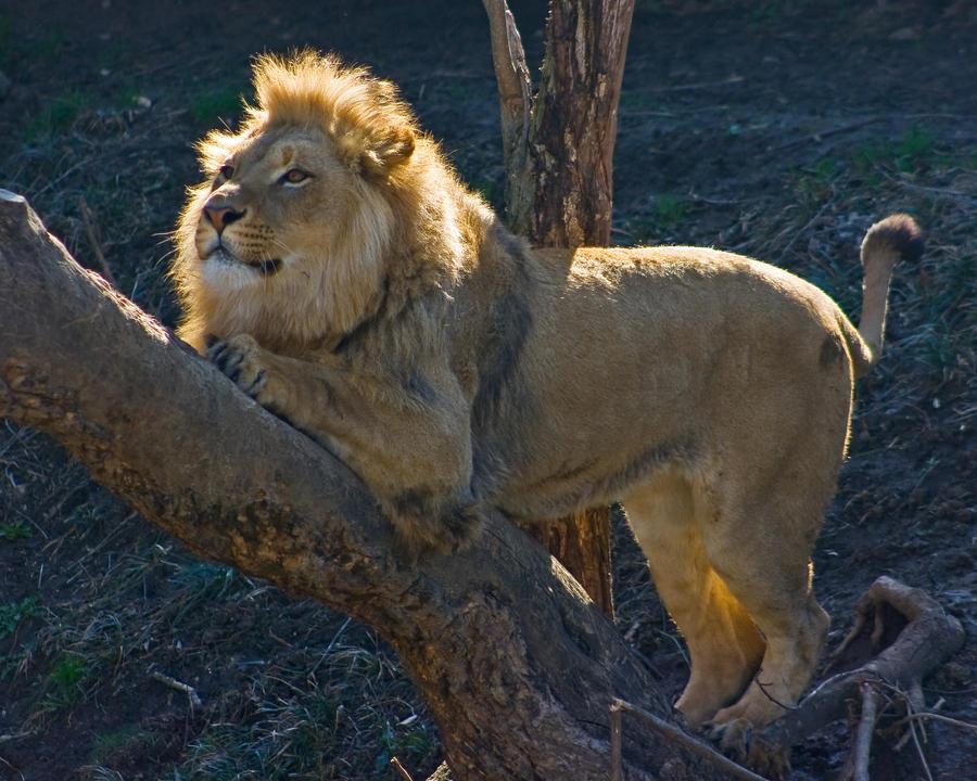 lion128 by redbeard31
