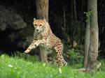 cheetah486