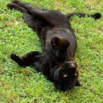 black jaguar15
