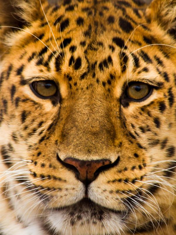 leopard281 by redbeard31