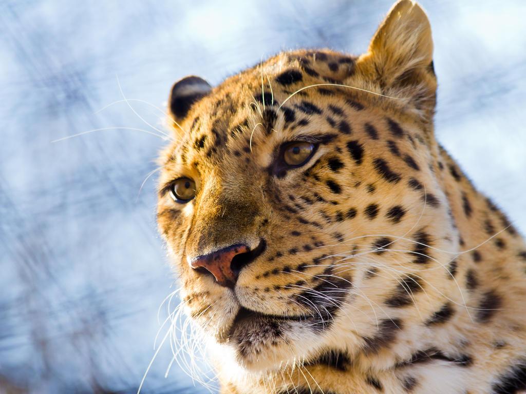 leopard282 by redbeard31
