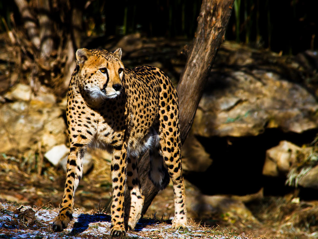 cheetah527 by redbeard31