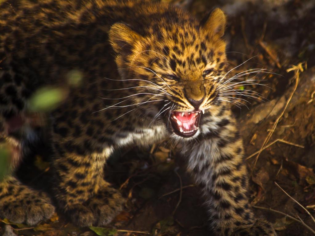 leopard284 by redbeard31