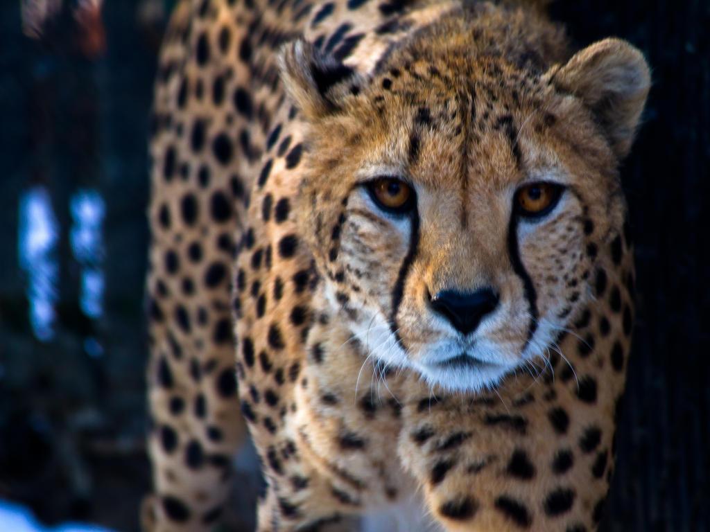 cheetah535 by redbeard31