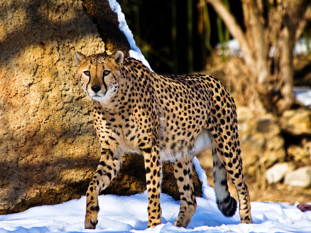 cheetah539 by redbeard31